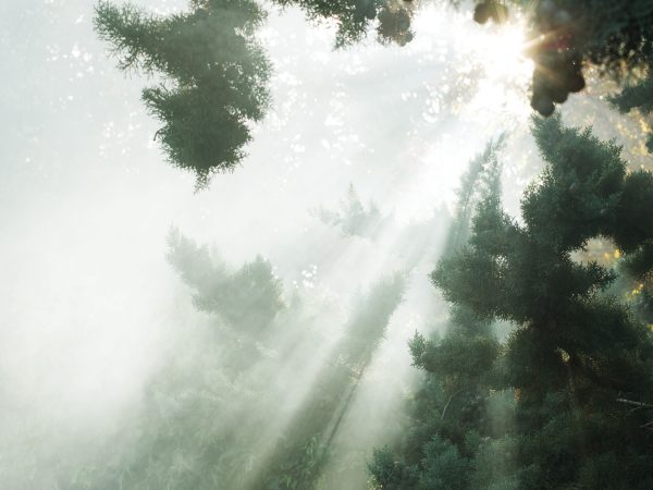 Image of sunlight bursting through a pine forest.